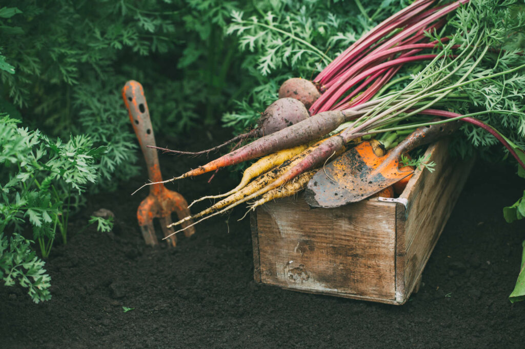 harvest-beets-and-carrots-L5BUW78.jpg